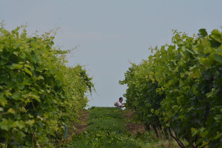 Agriculture Farmer Green Color Beauty In Nature Clear Sky Converging Lines Day Green Color Growth Leaf Mammal Nature One Person Outdoors Plant Sky Tree Vineyard