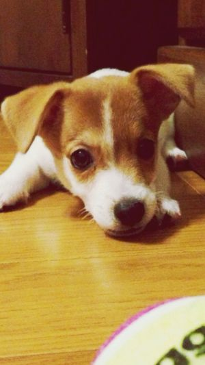 Max Takahashi Lovely Jackrussell Puppy He's SO cute. ❤️