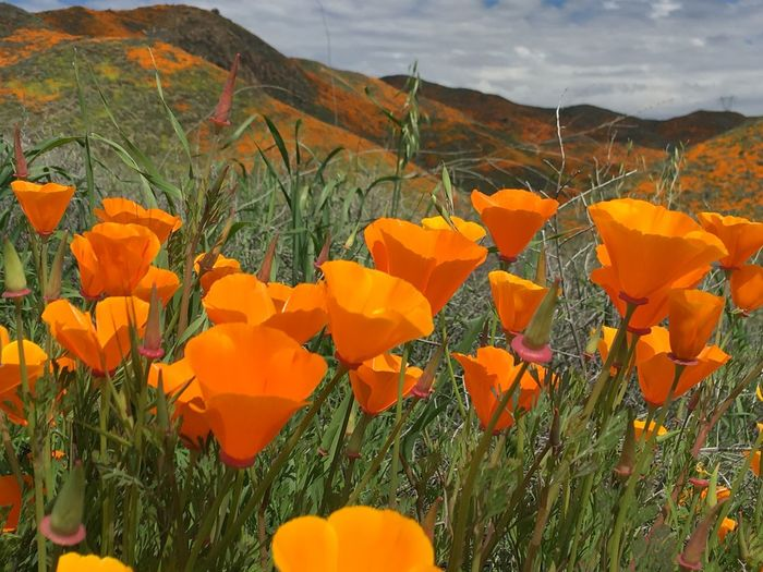 Landscape Plant Flowering Plant Flower Beauty In Nature Growth Orange Color Freshness Fragility Day Close-up Tranquility Flower Head No People Nature Land Vulnerability  Inflorescence Field Petal Yellow