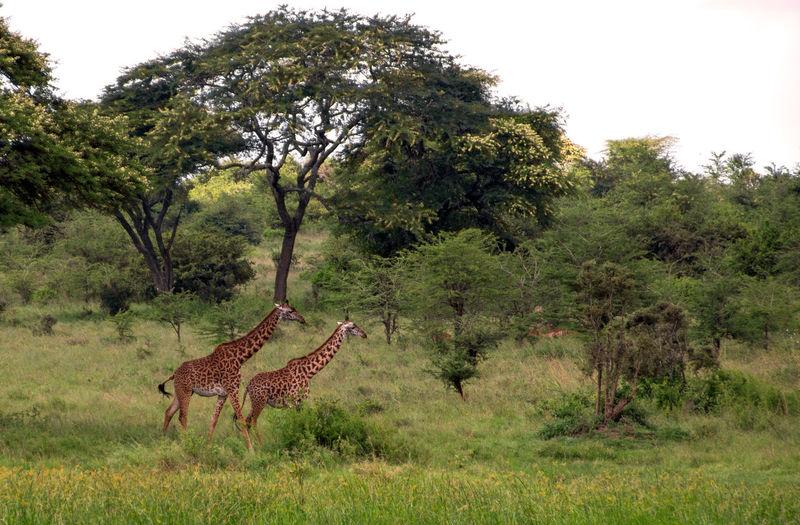 Africa Kenya Animal Themes Wildlife Plant Tree Animal Animal Wildlife Animals In The Wild Giraffe Grass Mammal Nature One Animal Herbivorous Standing Environment No People Land Day