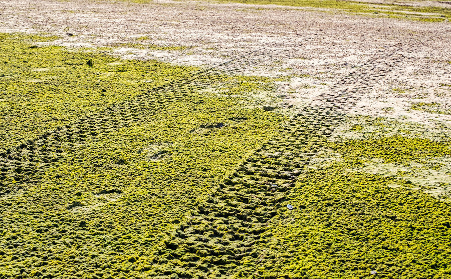 Off road car tyre track on sandy beach with algae Agriculture Algae Algae On The Beach Algae Water Beauty In Nature Car Tyre Car Tyres Day Field Grass Green Algae Green Color Growth High Angle View Landscape Nature No People Off Road Outdoors Sand Tracks Sand Trails Sandy Beach Track Tranquility