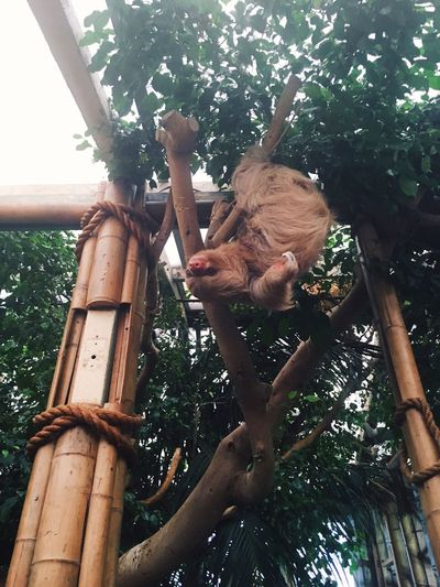 Sloth life Tree Mammal Wood - Material Branch Animal Themes Hanging Animal Wildlife Zoo Newquay Sloth Captivity Captive Exotic Slow Brown Climber Cute Amazing Tourism Cornwall South West Nature