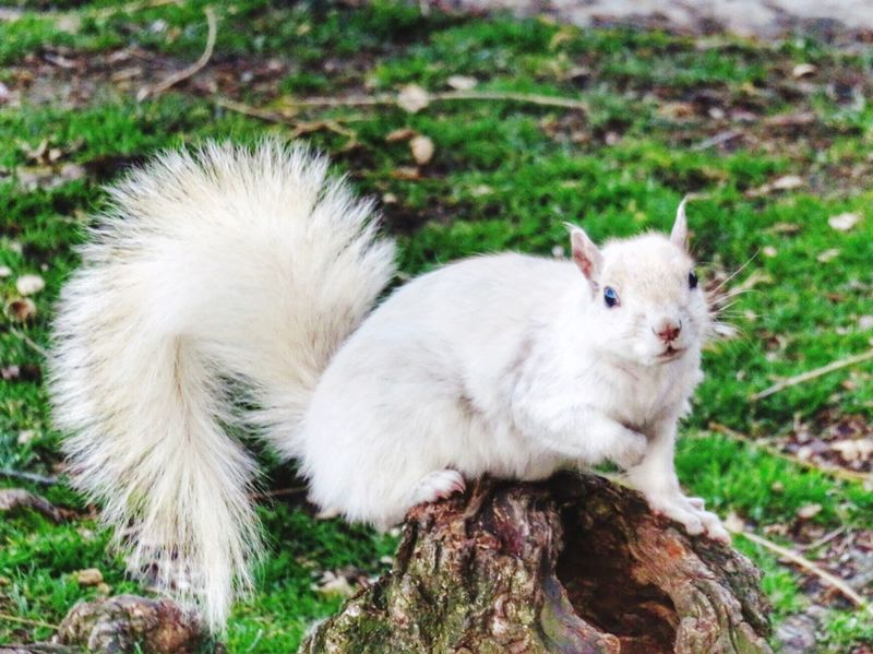 White Squirrel Watching. At first I thought this squirrel was albino, but it turns out he has leucism which is a loss of pigment in the fur, but not eyes. He is somewhat of an urban legend in the Boston Public Gardens among us locals, and the best shot I ever captured of him. EyeEm Best Shots The Great Outdoors - 2016 EyeEm Awards The Photojournalist - 20I6 EyeEm Award Close-up Squirrel Leucism White Squirrel White Squirrels Of The City Boston Massachusetts Rare Unique Unique EyeEmBestPics Cute Animals EyeEm Animal Lover Watching Surprise Nature's Diversities Nature's Diversities - 2016 EyeEm Awards