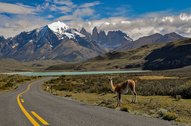 Guanaco looking at the driver at torres del paine national park, chile, patagonia
