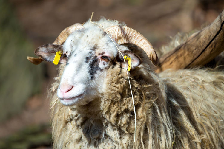 Close-up of sheep
