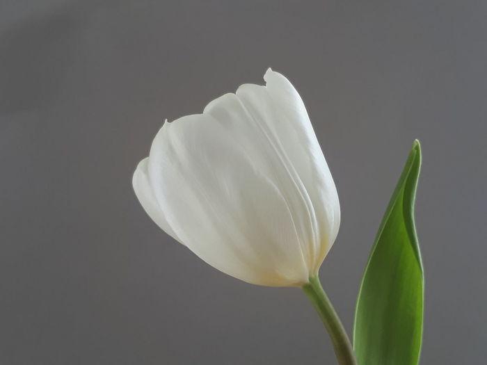 weiße