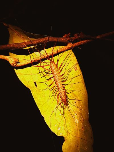 centipede cave Centipede Centipedecave Black Background UnderSea Yellow Close-up Animal Themes