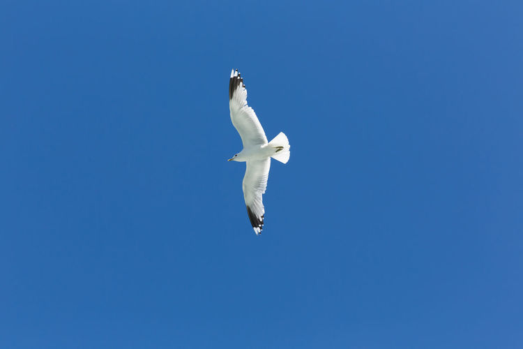 Animal Animal Themes Animal Wildlife Animals In The Wild Bird Blue Clear Sky Copy Space Day Flying Low Angle View Mid-air Motion Nature No People One Animal Outdoors Seagull Sky Spread Wings Vertebrate White Color