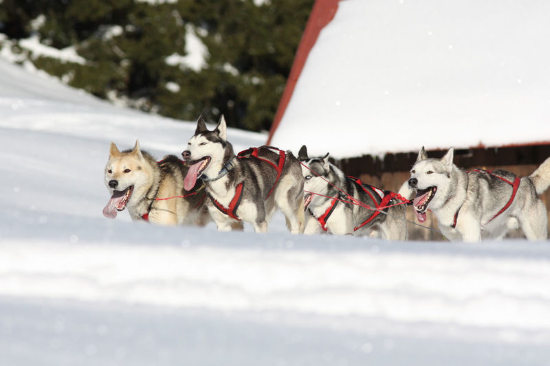 Surface Level Of Sled Dogs On Snow Field