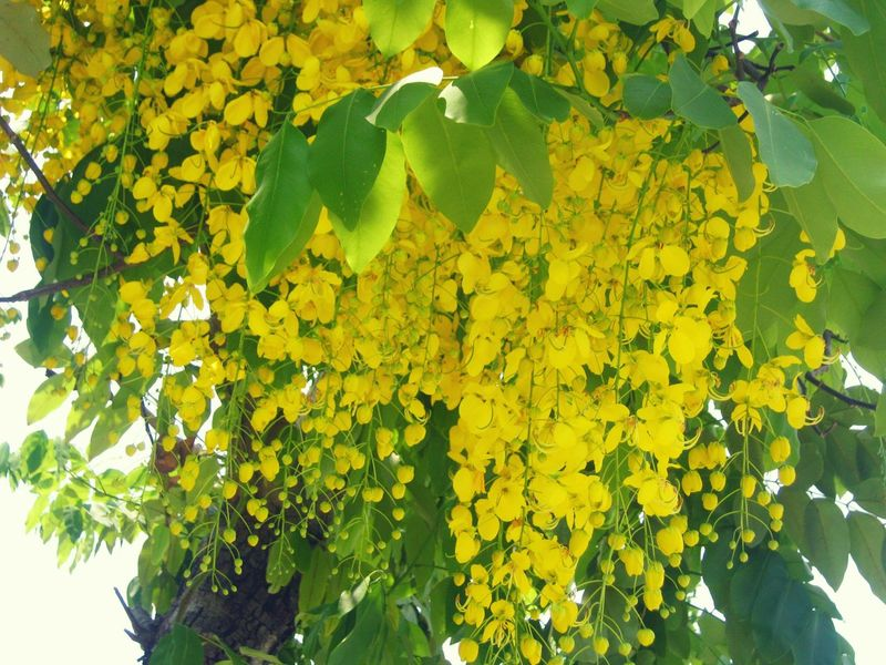 Yellow Leaf Nature Green Color Growth Beauty In Nature Outdoors Day Fruit Plant Freshness Flower Tree No People Close-up ดอกคูน ดอกคูณ ราชพฤกษ์