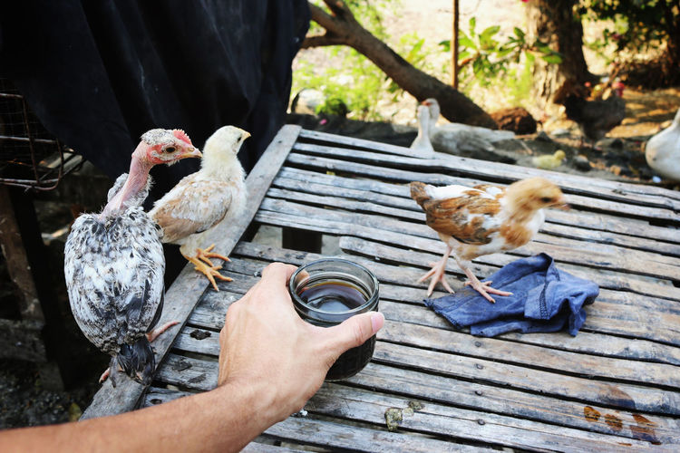 Cropped Hand Of Man Holding Coffee By Baby Chickens On Table