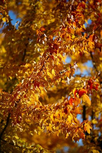 Autumn Glory Autumn colors Maple Leaves Tree Plant Part No People Leaf Nature Plant Growth Autumn Day Change Branch Close-up Beauty In Nature Outdoors Sunlight Tranquility Focus On Foreground