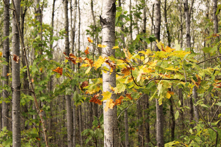 Wisconsin in October Autumn Bark Branches Ecosystem  Habitat Nature October Wisconsin WoodLand Beauty In Nature Birch Day Dense Forest Ecology Fall Foliage Forest Forest Photography Growth Nature Outdoors Poplar Tree Tree Trunk