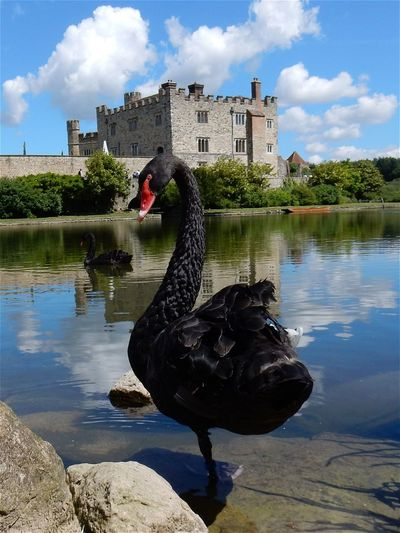 43 Golden Moments Black Swan Visit To Leeds Castle The Prettiest Castle In The World Hanging Out Taking Photos Check This Out Hello World Cheese! Relaxing Enjoying Life Modern Art Today's Hot Look Magical Amazing Beautiful