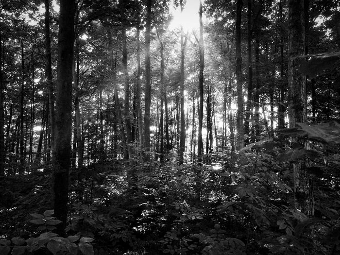 Sunlight through the trees. A Walk In The Woods IPhoneography Bw_collection