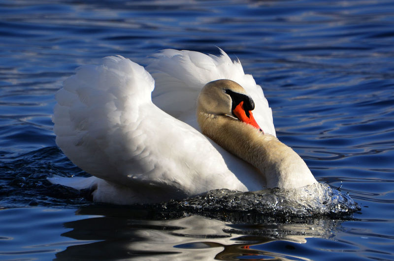 Swan Swimming on Water Aggression  Sunny Swimming Swimming Animal Animal Animal Themes Animal Wildlife Animals In The Wild Bird Close Up Day Lake Nature No People One Animal Reflection Sea Swan Swimming Vertebrate Water Water Bird White Color Wings Zoology