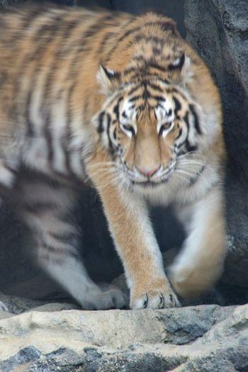coming up One Animal Tiger Animal Mammal Looking At Camera Day Nature