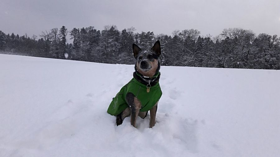 in love with the snowy meadows 😍❄🌨🌲🌲🌲🐾 Snow Winter Outdoors Dog Nature Wonderland Snow ❄ Dogwalk Icy Beauty In Nature Winterforest Whitetrees Whitenaturebeauty Cattledog Blueheeler Pets Bestfriend MyLove ♡ Hurta