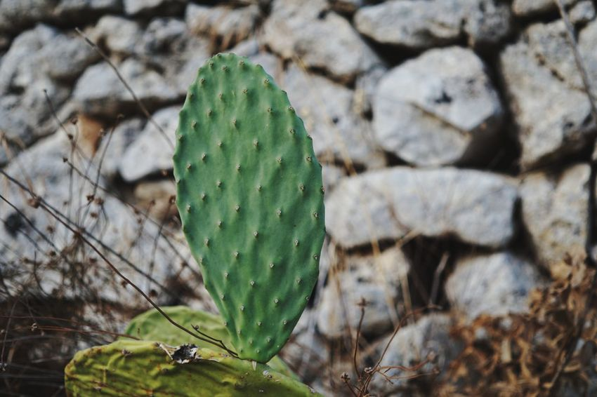 Cactus Cactus Green Color Nature Plant Prickly Pear Cactus Outdoors No People Focus On Foreground Day Beauty In Nature Salento Salento Puglia SonyAlpha6000 Etifumi