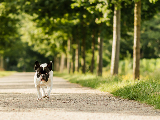 Small black and white French bulldog going for a walk Bulldog Dog Walking Going For A Walk Pet Portraits Animal Black And White Dog Close-up Dog Dog Portrait French Bulldog Golden Hour Green Background Outdoors Pet Small Dog Summer