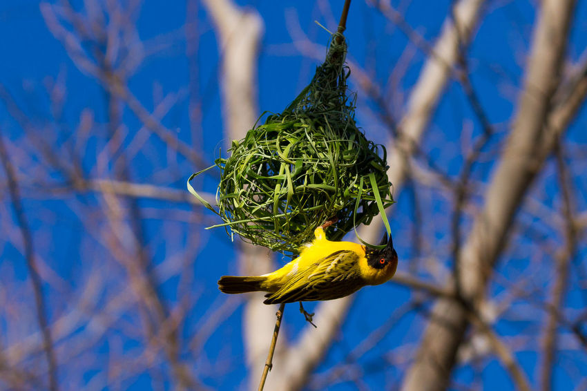 Animal Themes Animal Wildlife Animals In The Wild Beauty In Nature Close-up Green Color House Nature Nest Nest Building Nesting Birds No People One Animal Outdoors Tree Weaver Weaverbird Weaverbird Nest Weaverbirds Yellow