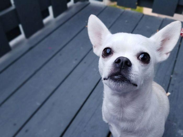 Chihuahua Pets Dog Domestic Animals Cute Looking At Camera Portrait