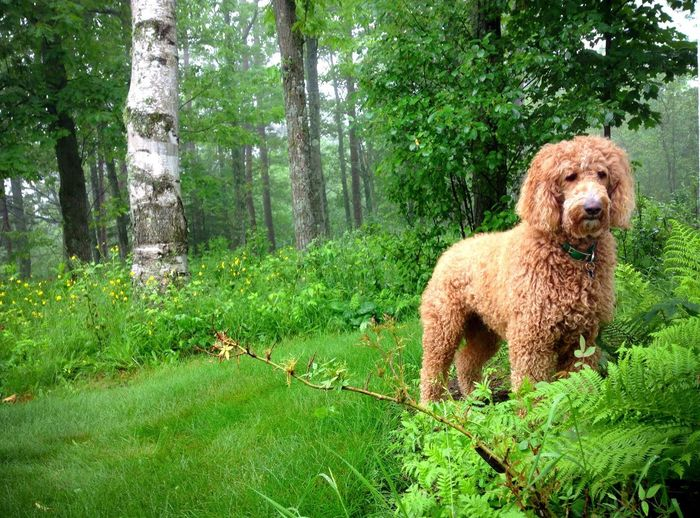 Goldendoodle on grassy field