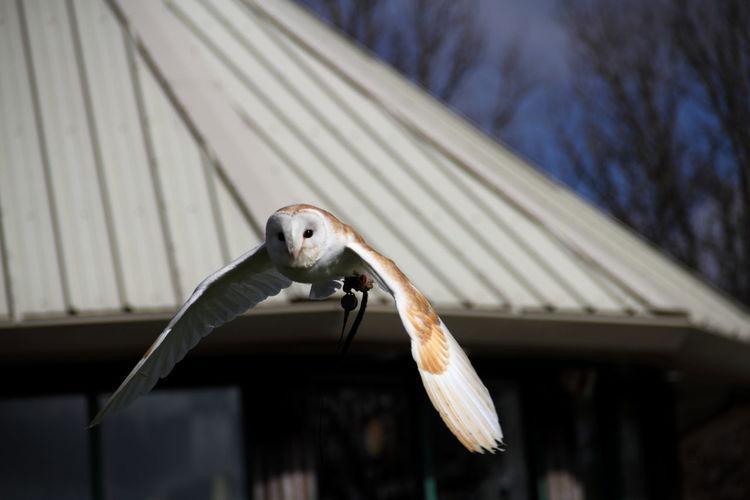 Barn owl flying against roof