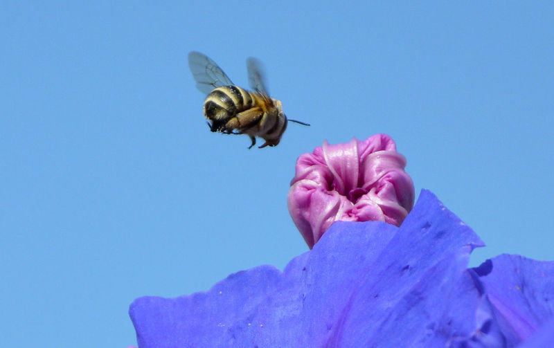 Low Angle View Of Bee Flying Over Flower Against Clear Sky