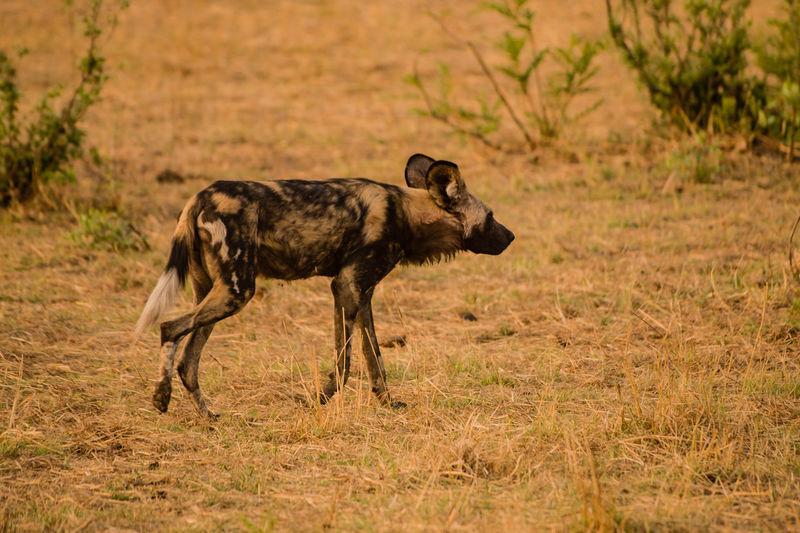Hyena Walking On Field