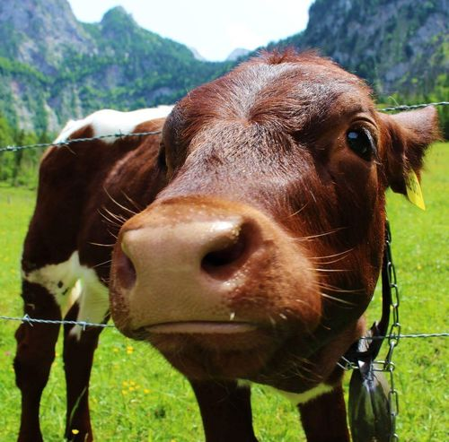 Animal Head  Agriculture Looking At Camera Portrait Outdoors Animal Themes No People EyeEmNewHere Nature Canon700D Nofilter Nophotoshop Canonphotography Berchtesgaden Germany Kuh Kalb Cow Calf Nahaufnahmen Pet Portraits Pet Portraits