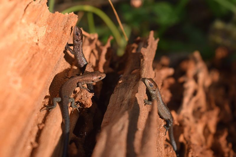 Tiny lizards in a piece of wood Lizard Lizards Lizard Close Up Animals In The Wild Animals Animal Reptile Reptiles In The Forest Animal Photography Nature Nature_collection Sunny Day Nature Photography EyeEm Nature Lover Perspectives On Nature