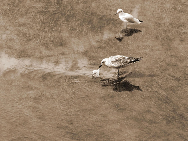 2Birds Scenics Sea Birds Drag In The Water Seabird Looking To Young Seagull Teinted Effect Water Movement Non Urban Scene Reflection Animal Wildlife EyeEm Best Shots Birds Photography