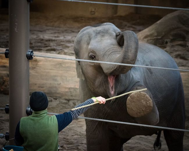 Excercise Time African Elephant Elephant Mammal Animal Themes Domestic Animals One Animal Livestock Elephant Standing Day Outdoors