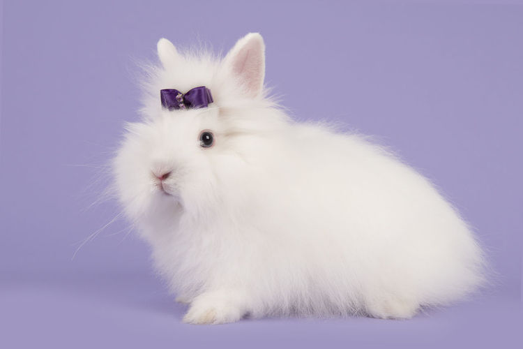 Pretty long-haired angora white rabbit with a purple bow on a lavender purple background Angora Rabbit Animal Bunny  Lavender Pets Purple Purple Background White Rabbit