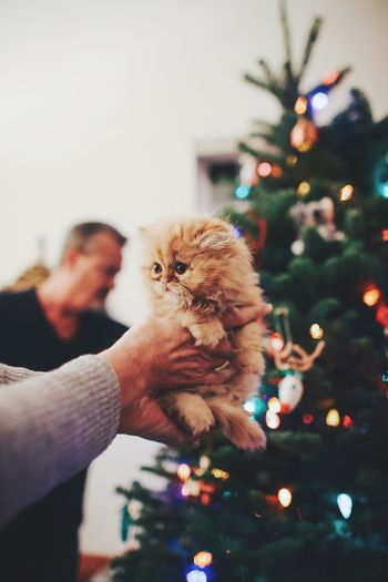 Close-up of hands carrying kitten against christmas tree
