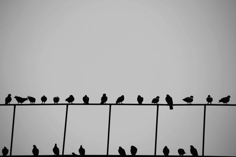 Silhouette birds perching on railings against clear sky