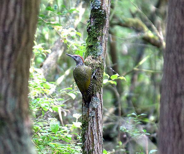 Animals In The Wild Bird Tree Trunk Woodpecker Forest Nature Animal Wildlife Greenwoodpecker