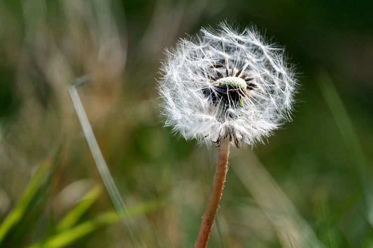 Dandelion Dandelion Seeds Dandelion Seed Dandelion Seed Head Dandelion Collection Green Color No People Beauty In Nature Nature On Your Doorstep Beautiful Scottish Borders