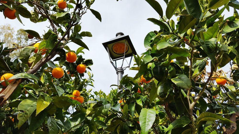 Orange Orange Tree Orange Fruit Lantern LED Tree Nature Technics Fruits Mallorca Mallorcaphotographer Spring Springtime