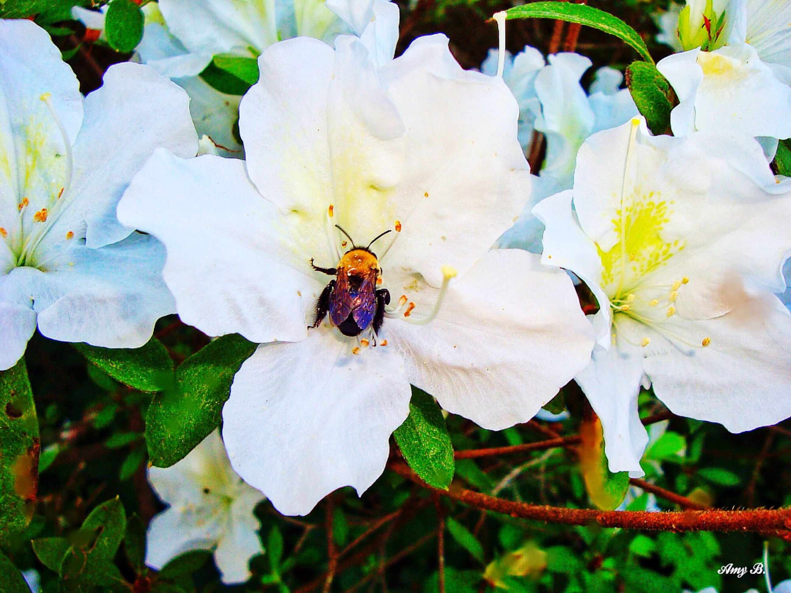 insect, flower, animal themes, one animal, animals in the wild, white color, petal, wildlife, fragility, growth, freshness, flower head, high angle view, plant, leaf, nature, beauty in nature, close-up, bee, pollen