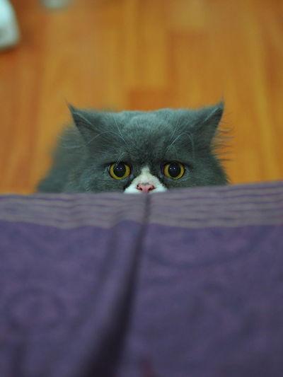 Pets Portrait Kitten Leopard Feline Yellow Eyes Domestic Cat Looking At Camera Defocused Protruding