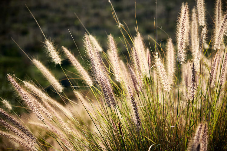 Beauty In Nature Cereal Plant Close-up Day Ear Of Wheat Field Focus On Foreground Freshness Grass Green Color Growth Nature No People Outdoors Plant Tranquility Wheat