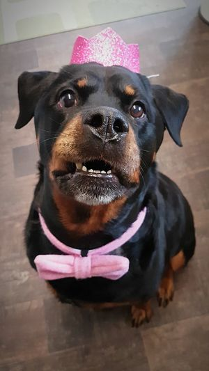 Prettygirl Beautiful Black And Tan 8 Years Old Bestfriend Rainbowbridge Cancer Princess Rottweiler Rottweilerlife Dog Pets Domestic Animals One Animal Pet Clothing Portrait Looking At Camera Animal Animal Themes Puppy Cute Close-up No People