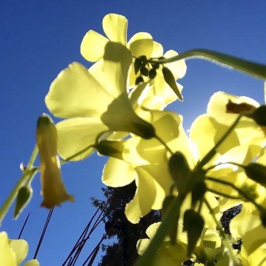 Flower Sun Yellow