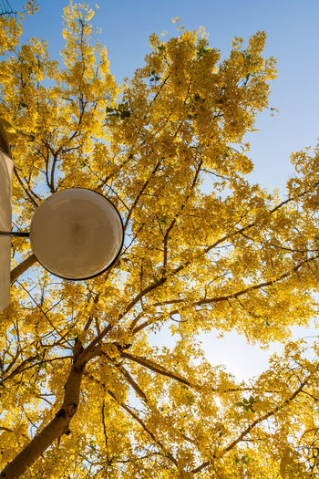 There are many golden shower tree planted on the side road in Thailand Branch Cassia Fistula; Change Day Decorate; Flower;  Garden; Golden; Growth Laburnum; Lamp; Leaf Low Angle View Nature No People Outdoors Park; Plant; Shower; Summer; Sunny; Thailand; Tree Tropical; Yellow;