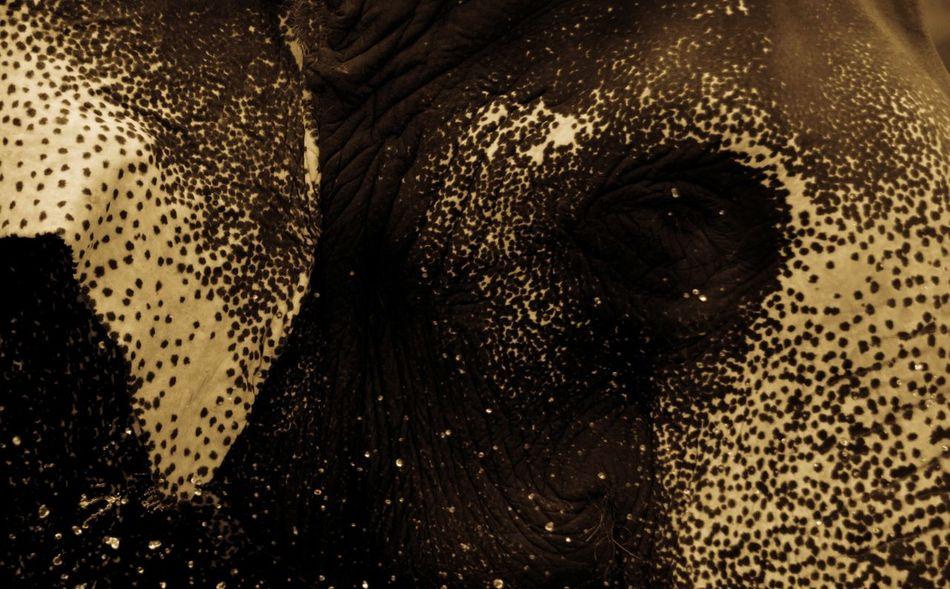 Gaints Elephant ♥ Animal Themes Animal Body Part Mammal Animals In The Wild No People Nature Animal Eye Eyemphotography Getty X EyeEm Images Getty & EyeEm Collection EyeEm Wildlife This Week On Eyeem EyeEm Best Shots Elephant Head Elephants Bathing