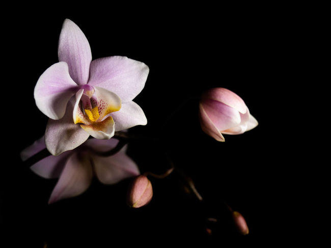 Flower Flowering Plant Fragility Freshness Petal Beauty In Nature Vulnerability  Plant Inflorescence Flower Head Studio Shot Black Background Close-up Nature Growth No People Pollen Pink Color Night Indoors  Purple