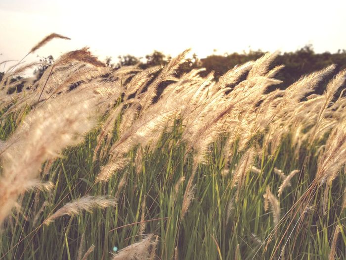 Agriculture Growth Cereal Plant Crop  Farm Rural Scene Field Nature Wheat Plant Outdoors Tranquility Day Landscape No People Tranquil Scene Scenics Grass Beauty In Nature Sky Flower Head Tree Beauty In Nature Flower Nature