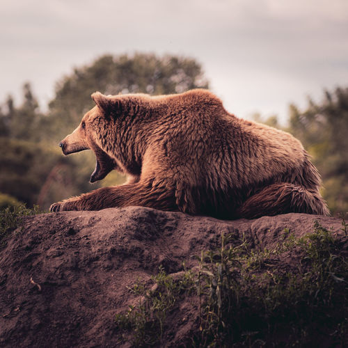 Tired bear on the rock